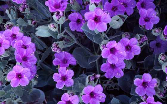 цветы, фиалки, пазлы, соберите,