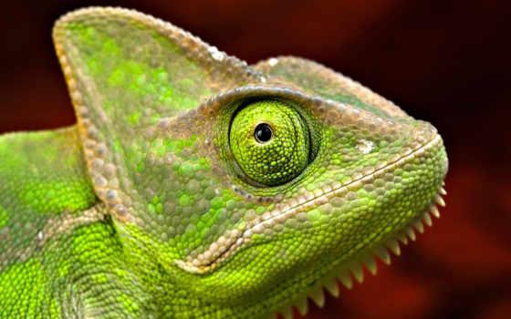 chameleon, зелёный, zhivotnye