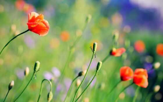 summer, цветы, маки