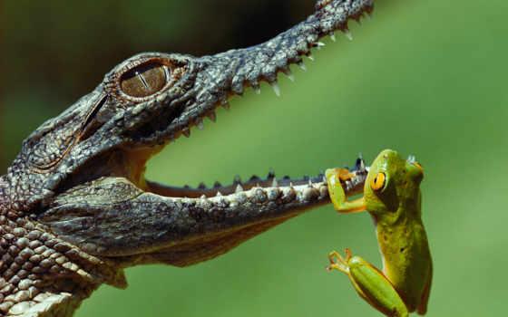 крокодил, лягушку, крокодилов
