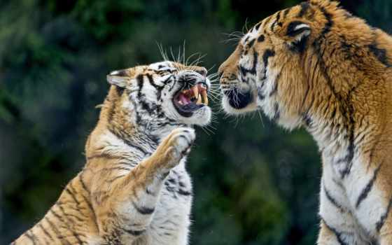 тигр, морда, кот