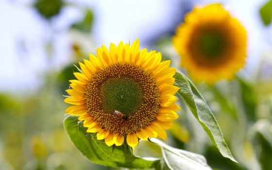 коллекция, подсолнухи, цветы, summer, насекомые,