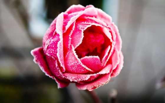 frozen, роза, high