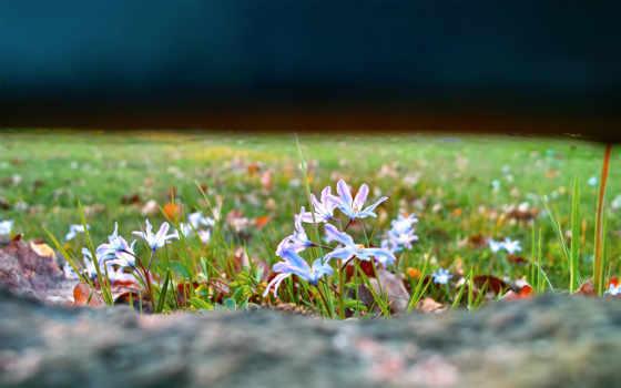 поляна, трава, природа, картинка, цветы, львица, пролески,