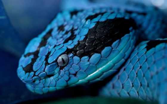 синяя, snake, zhivotnye, красивая, картинка, свой, кобальтово, color, внушительные, змей, змеи,