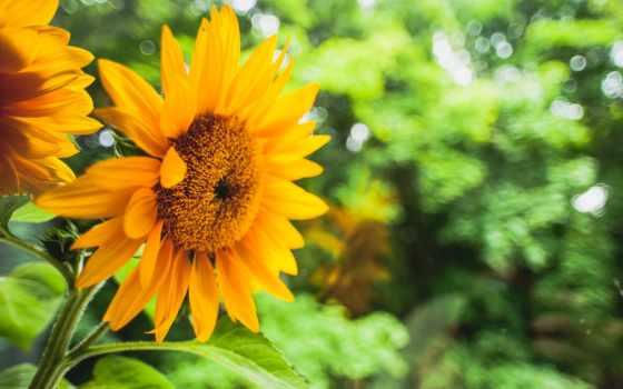 cvety, небо, подсолнухи, подсолнух, yellow, community, широкоформатные, цветы,