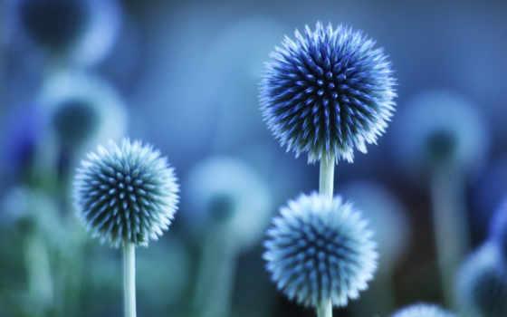 растения, цветы, color, blue, макро, android, история,