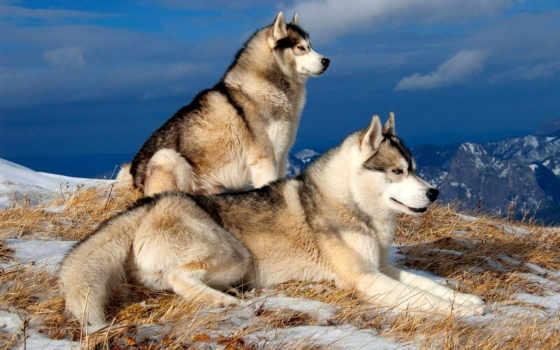 хаска, winter, снег, собака, хаски, холод