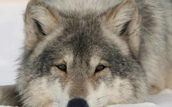 волки, волков, фотографий