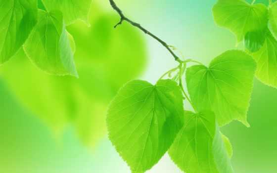 листья, зеленые, природа