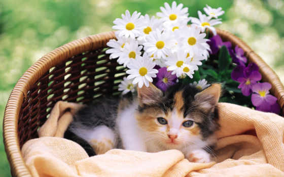 котенок, cvety, кот, котэ, киска, гиря, корзина, пушистый, ложь,