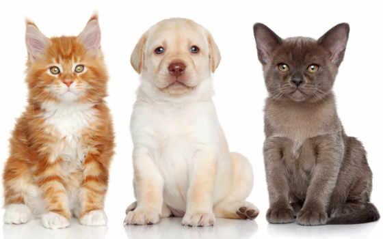 щенок, собака, labrador, mein, котенок, retriever, кот, animal, white