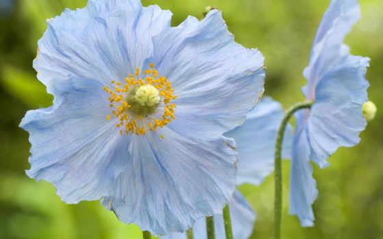 flowers, картинка, blue, wallpaper, вид, красиво, природа, poppies, nature, desktop,