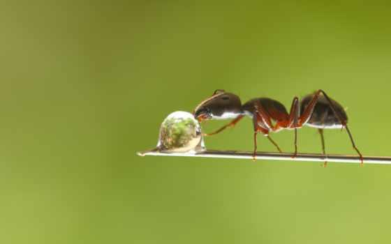 муравей и капля