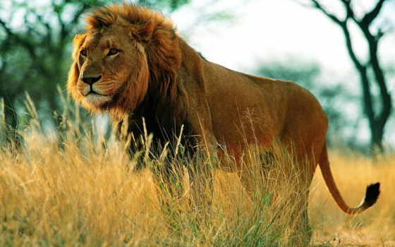 lion, грива, tail
