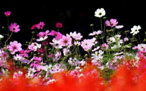 red, цветы, summer, космея, line, природа, focus,