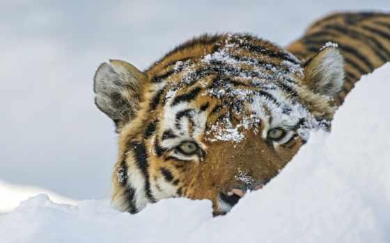 тигр, кот, морда Фон № 113085 разрешение 1920x1200