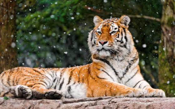 тигры, тигр, кошки, zhivotnye, морда, panthera, tigris, смотрит, лежит, possible, страница,