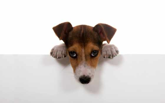 рассел, джек, бультерьер, терьера, щенок, собаки, собака,