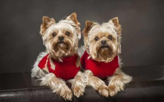бультерьер, йоркширский, собаки Фон № 49801 разрешение 2560x1600