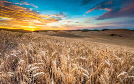 поле, landscape, природа, небо, oblaka, пшеница, закат,