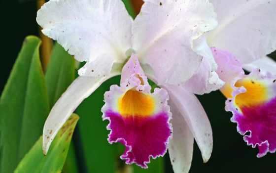 орхидеи, орхидея, liveinternet, обсуждение, где, цветы, загадочные,