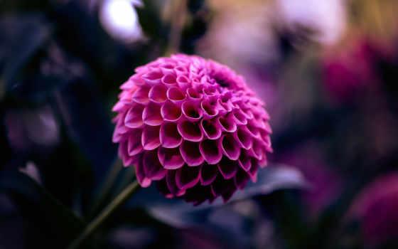 dahlia, цветы, планом, крупным, георгины, fone, малиновый, лепестки, trick, red, размытость,