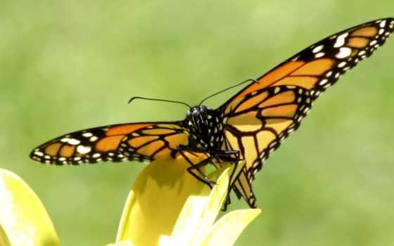 обои, красивые, бабочки, насекомые, обоев, коллекц
