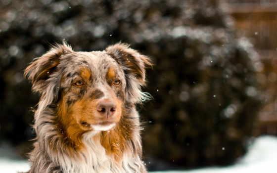 овчарка, собаки, животные