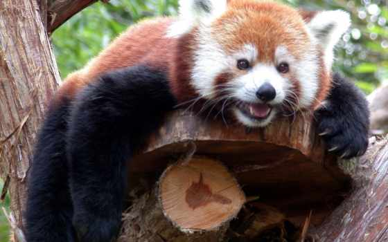 панда, красная, дерево