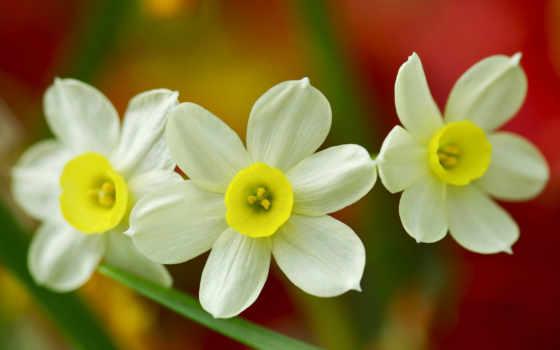 daffodils, цветы, narcise, desktop, world, хороших, free, картинок,