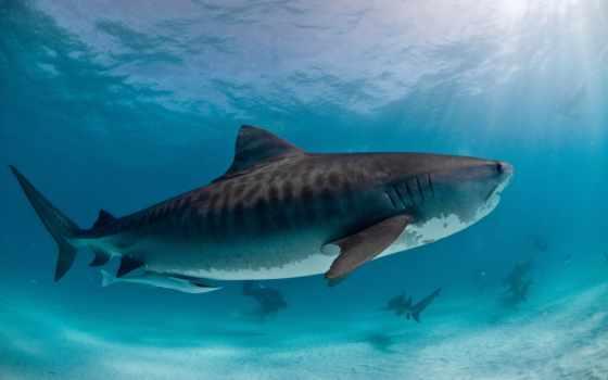 zhivotnye, акулы, акула