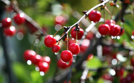 cherry, макро, капли, branch, water, дерево, боке, ветке,