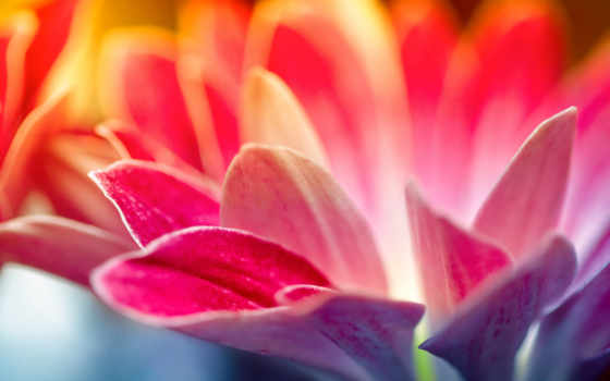 красивые, cvety, лепестки