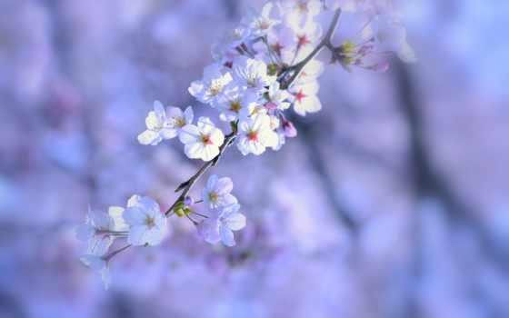 природа, весна, макро, cvety, сиреневый, белые, цветение, дерево, веточка,