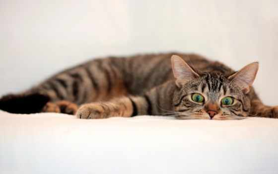 кот, лежит, striped, зелёными, глазами, zhivotnye,