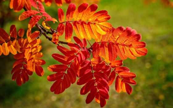 листва, осень, branch, багрянец, природа, рябина,