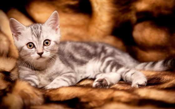 котёнок, мех