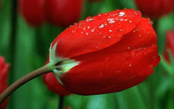 тюльпаны, цветы, тюльпанов