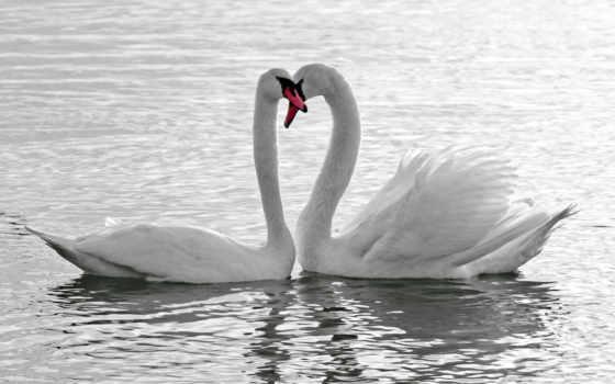 лебеди, птицы, water, белые, pair, пруд, лебедь, пруду, white,