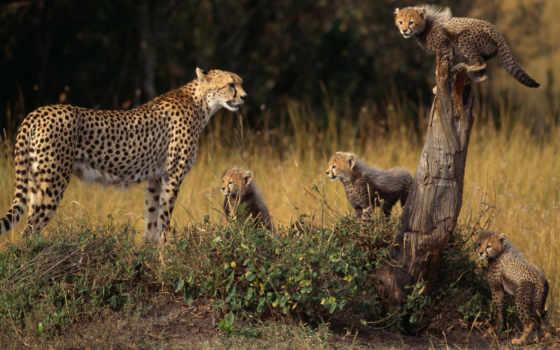 zhivotnye, молодой, семья, гепард, звери, еноты, детенышами, мама, широкоформатные,