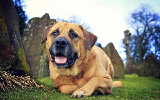 собака, dogs, биг, breeds, pets, bullmastiff,