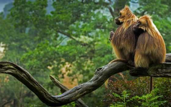 gelada, animals, baboons, bing, категория, birds,