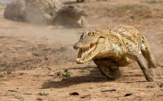 крокодила, аллигатор, за