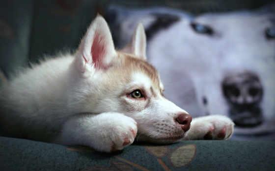 хаски, siberian, собака, щенок, zhivotnye, эти, собаки, милые, малыш,