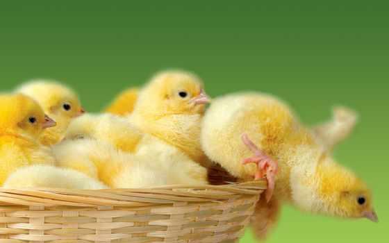 коллекция, картинок, категории, помощью, цыплята, цыплят, desktopwallpape, load, цыплятами,