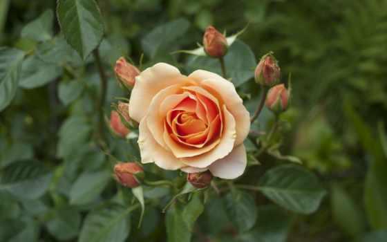 roses, flowers, роза, изображение, pinterest, free,
