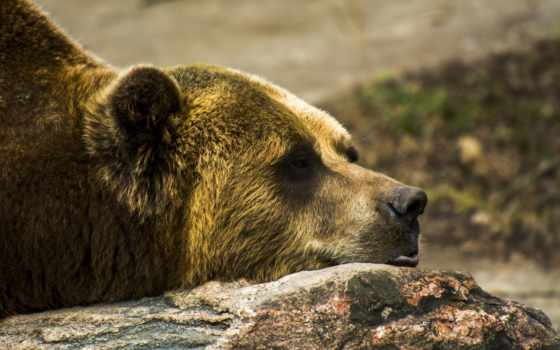 grizzly, медведь, profile