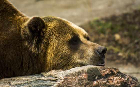 grizzly, медведь, profile, глаза, profil, pierre, lies, камень, perfil, браун,
