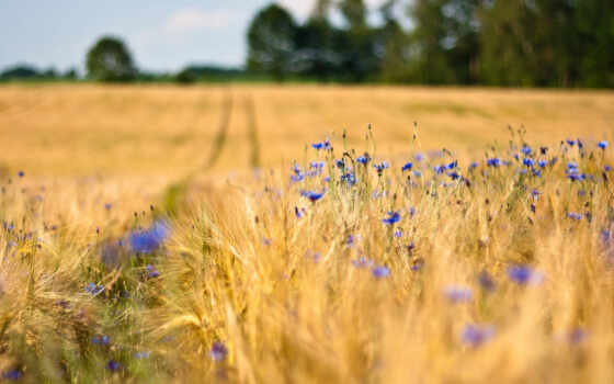 поле, цветы, васильки, колосья, пшеница, деревья, синие,